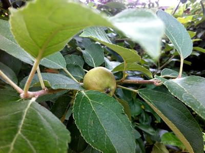 林檎と葡萄の樹